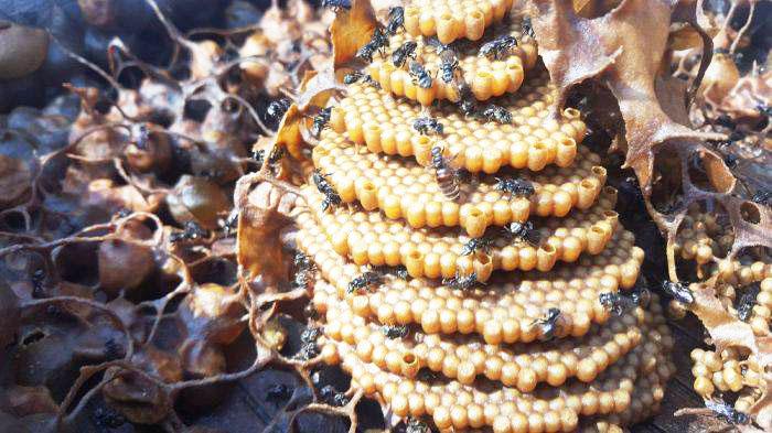 aceste-albine-unice-in-lume-construiesc-stupi-in-forma-de-spirala-1.jpg